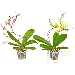 GARTENKRONE Schmetterlingsorchidee, Phalaenopsis hybrid »Hurricane«, Blüte: mehrfarbig, im Topf