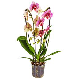 Schmetterlingsorchidee, Phalaenopsis hybride, Blüte: mehrfarbig, im Topf