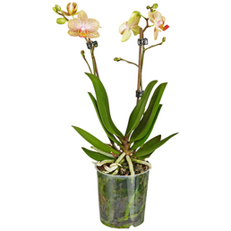 GARTENKRONE Schmetterlingsorchidee, Phalaenopsis Hybride, Blüte: mehrfarbig, im Topf