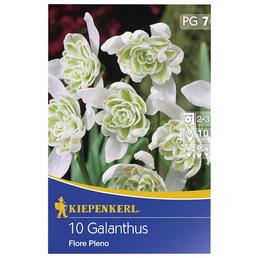 KIEPENKERL Schneeglöckchen nivalis Galanthus