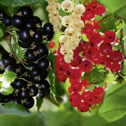 Schwarze Johannisbeere Ribes nigrum »Ben Tirran«