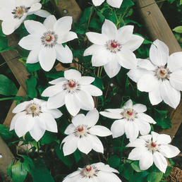 GARTENKRONE Waldrebe, Clematis »Miss Bateman«, Blüten: weiß