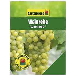 GARTENKRONE Weinrebe Vitis vinifera »Lakemont«