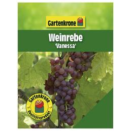 GARTENKRONE Weinrebe, Vitis vinifera »Vanessa« Blüten: creme, Früchte: rot, essbar