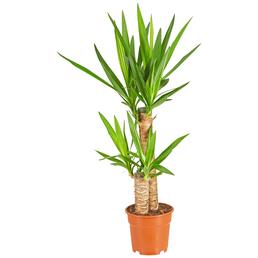 GARTENKRONE Yucca-Palme Yucca elephantipes