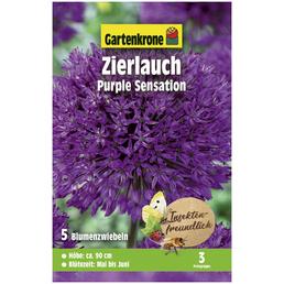 GARTENKRONE Zierlauch Allium Aflatunense »Purple Sensation«, violett