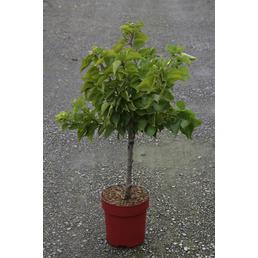 GARTENKRONE Zwerg-Aprikose, Prunus armeniaca, Früchte: süß, zum Verzehr geeignet