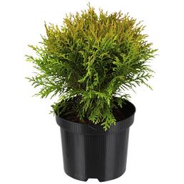 Zwerg-Lebensbaum, Thuja occidentalis »Danica«, winterhart