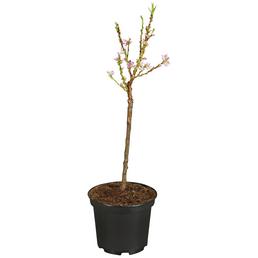 GARTENKRONE Zwerg-Nektarine, Prunus nuciperisca »Garden Beauty«, Früchte: süß, zum Verzehr geeignet