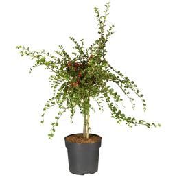 Zwergmispel, Cotoneaster praecox »Boer«, weiß, winterhart